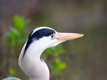 Tokyo, Japan-April 16, 2019: Closeup of Gray heron, grey heron or Ardea cinerea Stok Fotoğraf