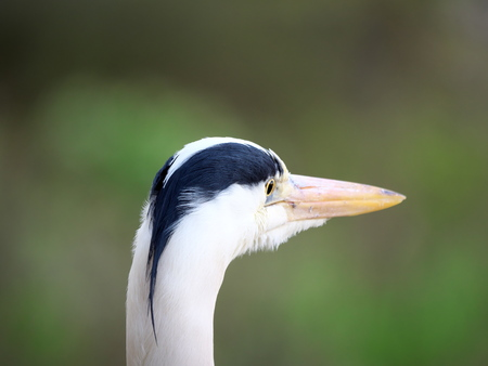 Tokyo, Japan-April 16, 2019: Closeup of Gray heron, grey heron or Ardea cinerea