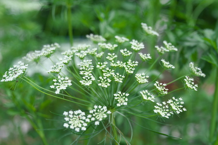Tokyo, Japan-May 17, 2019: Ammi Majus or Bishops weed or bishops flower or Bullwort or laceflower