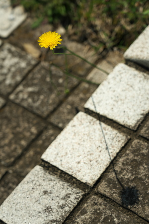 Tokyo, Japan-May 24, 2019: A Dandelion Flower and its shadow on A step