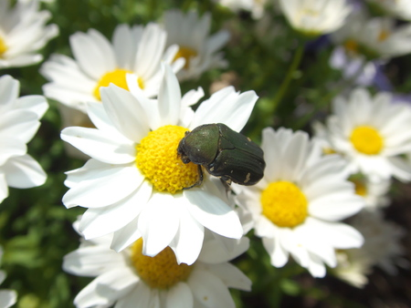 Tokyo, Japan-May 23, 2019: A beetle on Daisy flower in the garden