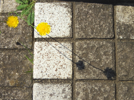 Tokyo, Japan-May 23, 2019: Two dandelion Flowers and their shadows on a step
