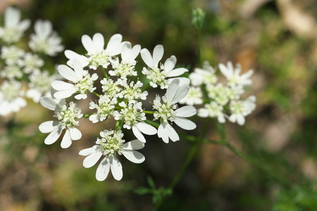 Tokyo, Japan-May 25, 2019: Orlaya grandiflora or White Lace flower or Minoan Lace or French Meadow parsley in a garden