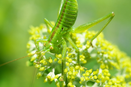 Tokyo, Japan-May 25, 2019: A Locust on Buds of Annabelle Hydrangea Stok Fotoğraf - 124716894