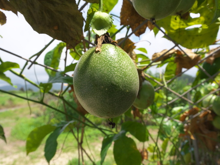 Okinawa, Japan-June 2, 2019: Passion fruits on trellis in Ishigaki Island, Okinawa