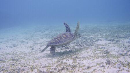 Amami Oshima, Japan - June 17, 2019: Sea turtle near Kasari Fishing Port at AAmami Oshima, Japan - June 17, 2019: Sea turt le near Kasari Fishing Port at Amami Oshima, Kagoshima, Japanmami Oshima, Kagoshima, Japan Stok Fotoğraf