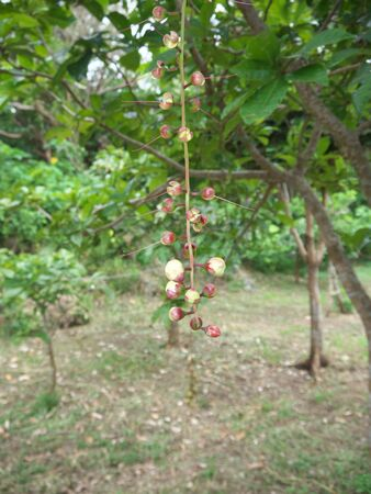 Buds of Barringtonia racemosa or powder-puff tree or Common putat or Fish-Killer Tree or Sagaribana in Miyako island, O kinawa