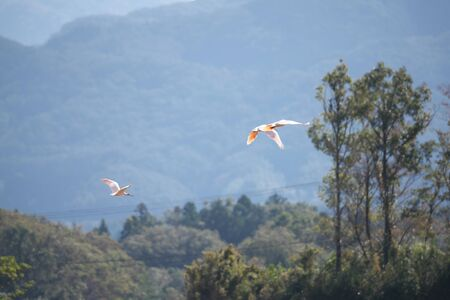 Nipponia Nippon or Japanese Crested Ibis or Toki, Once Extinct Animal from Japan, Flying on Blue Sky in Sado Island Stock Photo