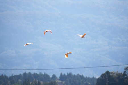 Nipponia Nippon or Japanese Crested Ibis or Toki, Once Extinct Animal from Japan, Flying on Blue Sky in Sado Island Stock Photo - 132552454