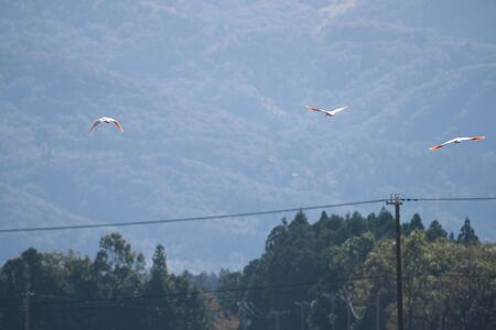 Nipponia Nippon or Japanese Crested Ibis or Toki, Once Extinct Animal from Japan, Flying on Blue Sky in Sado Island Фото со стока