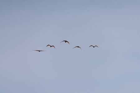 Nipponia Nippon or Japanese Crested Ibis or Toki, Once Extinct Animal from Japan, Flying on Blue Sky in Sado Island 写真素材
