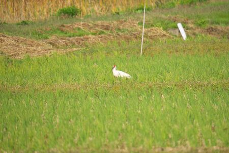 Nipponia Nippon or Japanese Crested Ibis or Toki, once extinct animal from Japan, on rice field in Sado island Stock Photo - 132518678