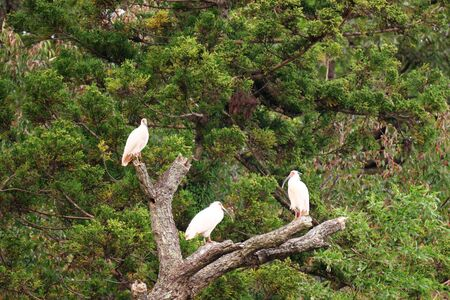 Flock of Nipponia Nippon or Japanese Crested Ibis or Toki, once extinct animal from Japan, in a wood in Sado island Stock Photo