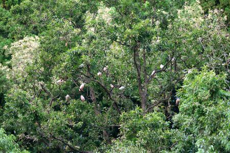 Flock of Nipponia Nippon or Japanese Crested Ibis or Toki, once extinct animal from Japan, in a wood in Sado island 写真素材