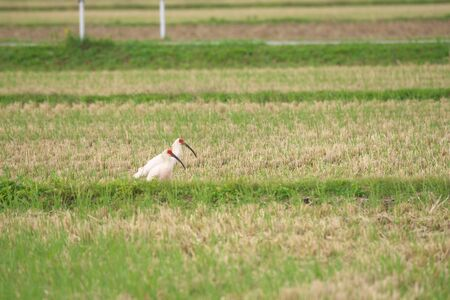 Nipponia Nippon or Japanese Crested Ibis or Toki, once extinct animal from Japan, on rice field in Sado island