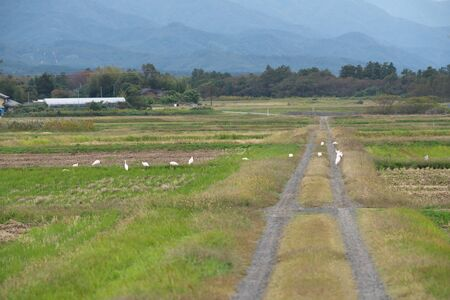 Nipponia Nippon or Japanese Crested Ibis or Toki, once extinct animal from Japan, on rice field in Sado island 写真素材 - 132552470
