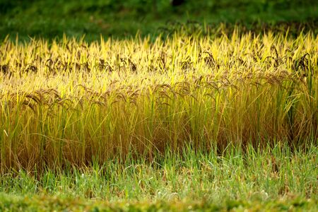 Niigata,Japan-October 21, 2019: Rice Field After the Morning Rain in Sado Island in Autumn 写真素材