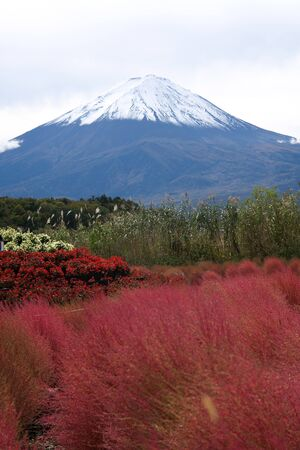 Yamanashi,Japan-October 26, 2019: Red Kochia or Summer Cypress along Lake Kawaguchi with Mt. Fuji background