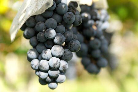 Yamanashi,Japan-October 26, 2019: Muscat Bailey A at a Vineyard in Yamanashi Prefecture in Japan 写真素材