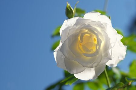 Tokyo,Japan-October 30, 2019: Isolated white rose or Iceberg in autumn in Tokyo 写真素材
