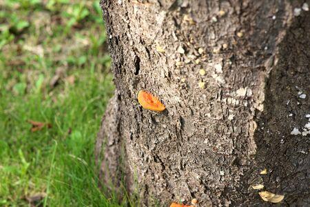東京、2019年10月31日:ピクノポラス・コクシネウスまたはヒアロタケが桜の幹に寄生 写真素材 - 133188372