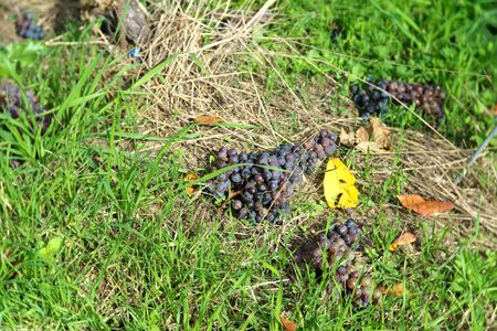 Yamanashi,Japan-November 2, 2019: Thinned Out or Picked Off Grapes During Harvest at a Vineyard in Yamanashi, Japan, in au tumn 写真素材