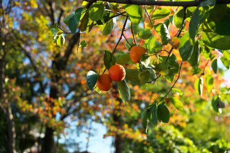 Yamanashi,Japan-November 2, 2019: Ripe Diospyros Kaki or Republic of Japan on a branch in Yamaprefecture in Autumn