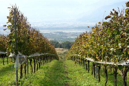 Yamanashi,Japan-November 2, 2019: Harvested vineyard in autumn in Japan 写真素材 - 134201589