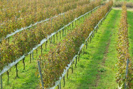Yamanashi,Japan-November 2, 2019: Harvested vineyard in autumn in Japan 写真素材 - 134201593