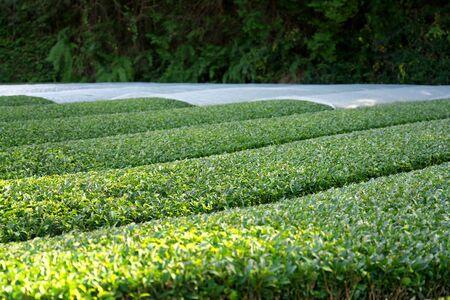 Kyoto,Japan-November 15, 2019: Partialcovered Beautiful Tea Fields at Wazuka in Uji, Kyoto