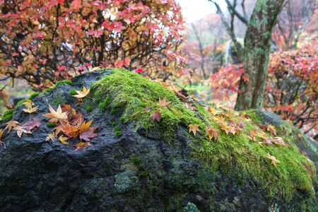 Gunma,Japan-November 23,2019: Beautiuful autumn leaves fell on the rock and the earth in the rain in Japan 写真素材 - 134201603
