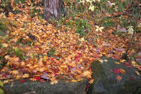 Gunma,Japan-November 23,2019: Beautiuful autumn leaves fell on the rock and the earth in the rain in Japan 写真素材 - 134201607