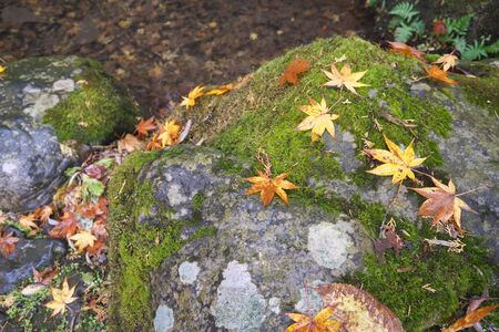 Gunma,Japan-November 23,2019: Beautiuful autumn leaves fell on the rock and the earth in the rain in Japan 写真素材 - 134201610