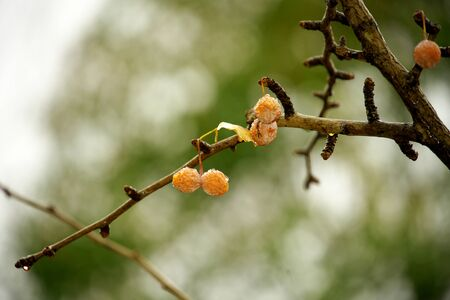 Tokyo,Japan-November 27, 2019: Old Gingko Nuts Still on a Branch in the Rainy Winter 写真素材 - 134576566