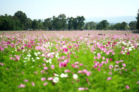 Nakhon Ratchasima,Thailand-December 7, 2019: Cosmos flower field in Thailand