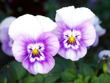 Tokyo,Japan-January 10, 2020: Closeup of Twin Pansies in a Garden 写真素材