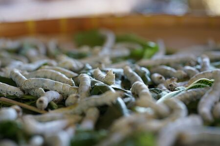 Nakhon Ratchasima,Thailand-December 7, 2019: Silkworms or Bombyx Mori Eating Mulberry Leaves