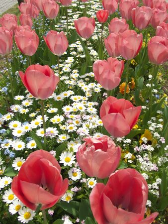 Red tulip flowers on white daisy flowerbed in Tokyo, Japan