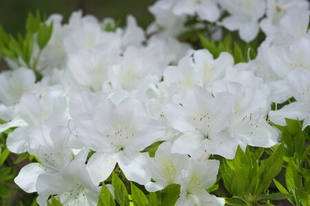 Azalea or Rhododendron in full bloom in spring
