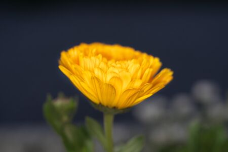 Isolated Marigold in the night