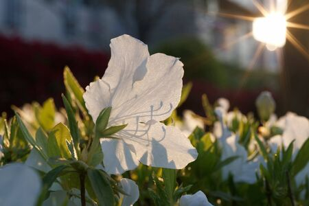 White Azalea or Rhododendron flower in the sun in spring
