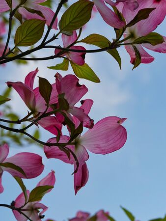 Red Cornus florida or Flowering dogwood on blue sky background