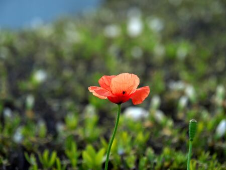 Papaver dubium or Long-headed poppy or blindeyes on azalea leaf background 写真素材