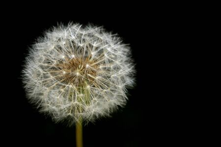 Tokyo, Japan-May 2, 2020: Closeup of Dandelion head or puffball