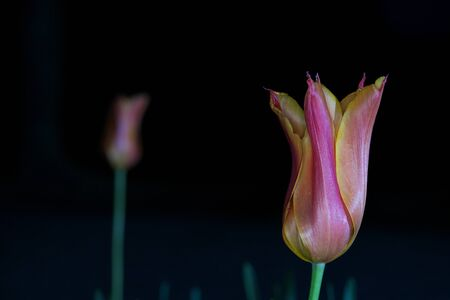 Tokyo, Japan-May 2, 2020: Closeup of Tulip flower on black background