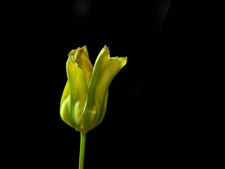 Tokyo, Japan-May 3, 2020: Closeup of Green Tulip flower on black background
