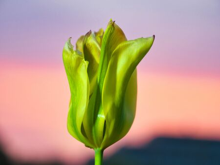 Tokyo, Japan-May 3, 2020: Closeup of Green Tulip flower on morning glow background
