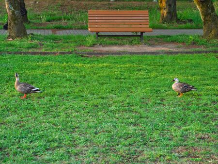 Tokyo, Japan-May 3, 2020: Pair of ducks keeping social distancing in a park in the morning