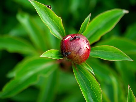 Closeup of peony bud with a few ants
