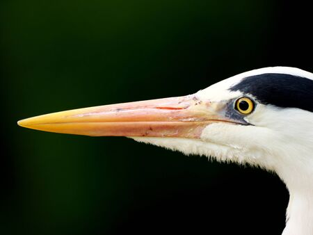 Tokyo, Japan-May 15, 2020: Closeup of Grey heron head